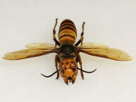 https://patch.com/washington/seattle/murder-hornets-found-washington-state