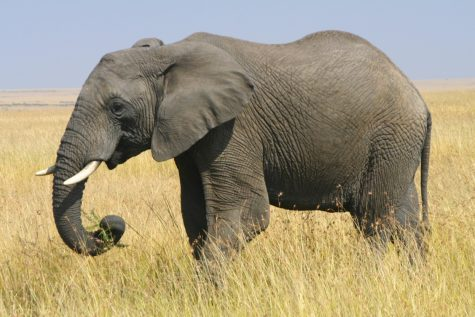 Endangered Species Series: African Elephants